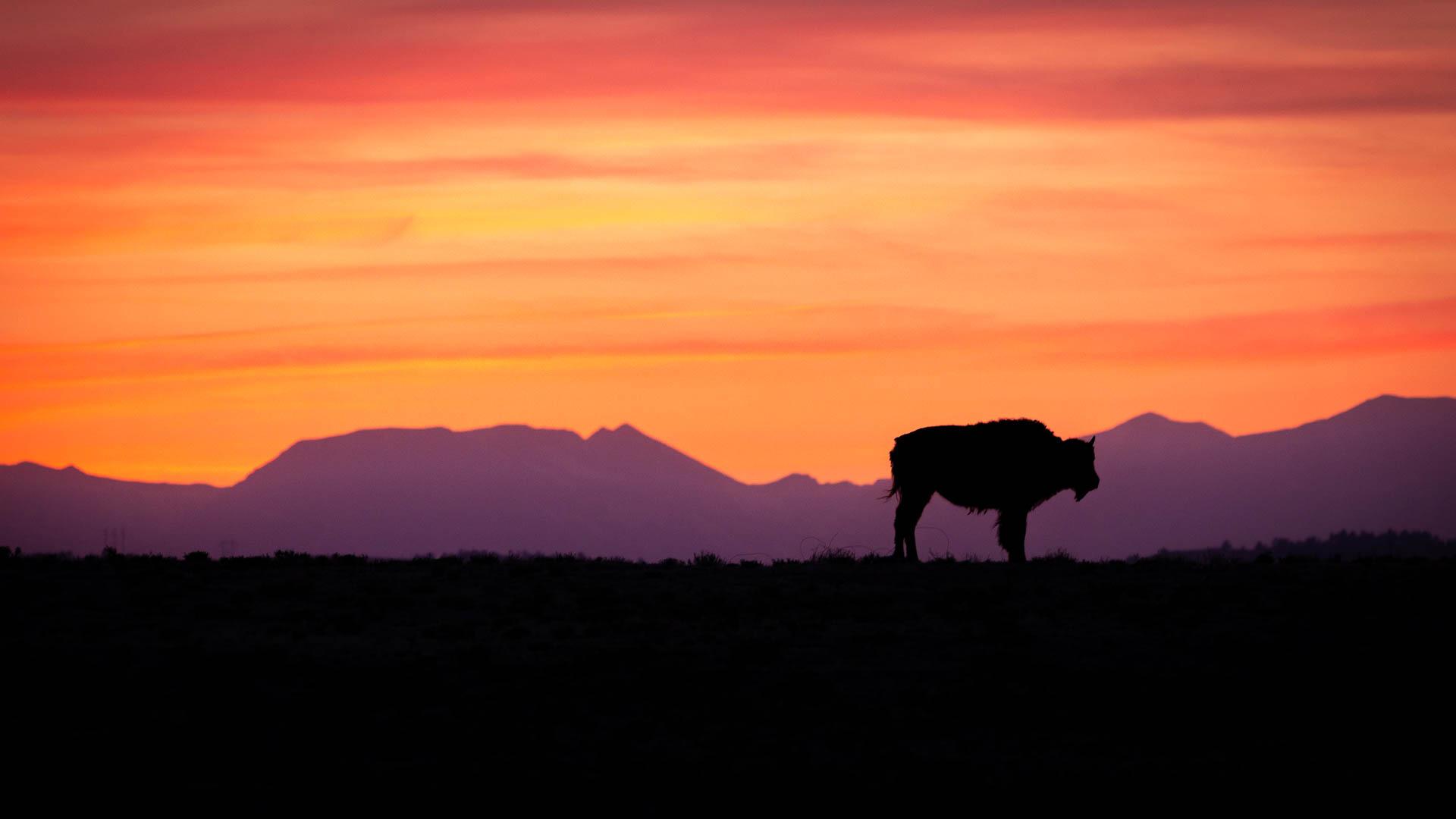 bison-single